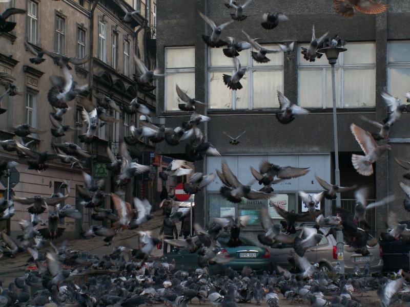 Stado gołębi wzlatuje