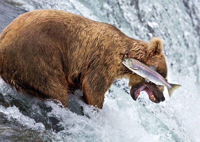 Ryba gryzie niedźwiedzia