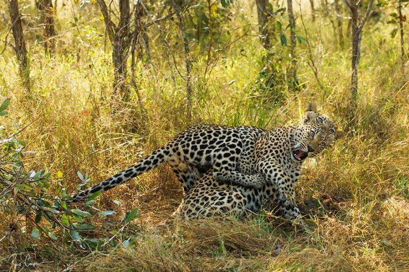 Dwa sklejone gepardy