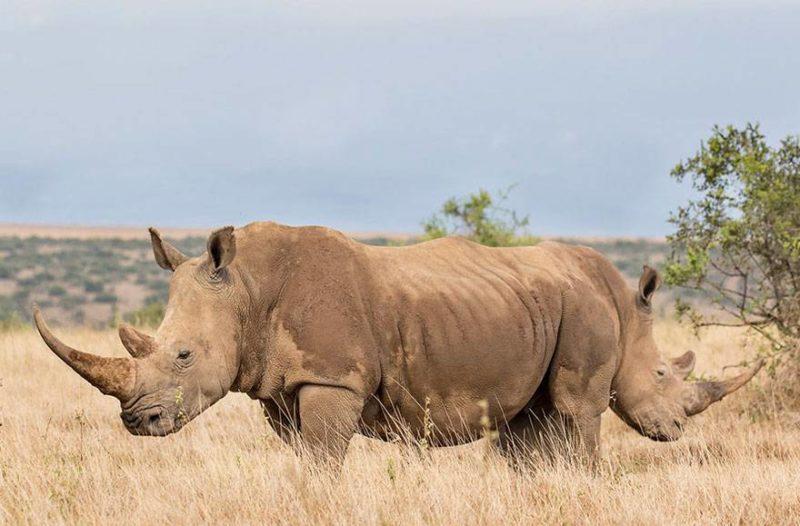 Dwa sklejone nosorożce