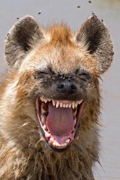 śmiejąca się hiena