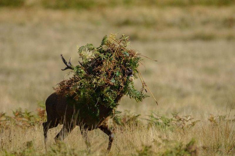 jeleń z listowiem na głowie