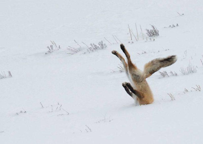 Zakopany w śniegu lis