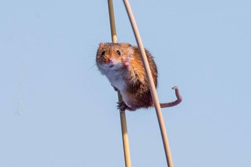 Myszka na szczudłach