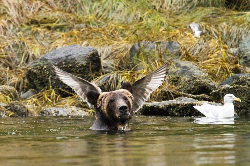 Niedźwiedź ze skrzydłami
