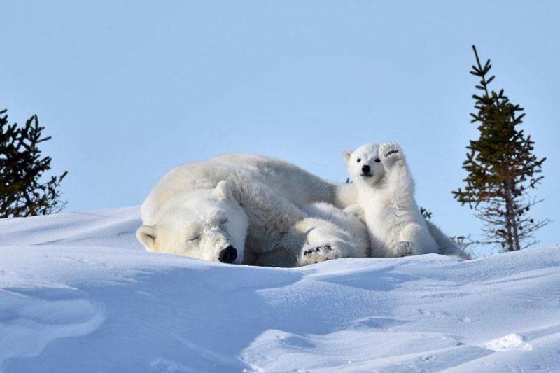 Niedźwiedzie polarne - śpiąca matka i radosne dziecko.