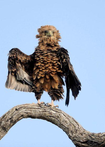 Ptak drapieżny na stojąco