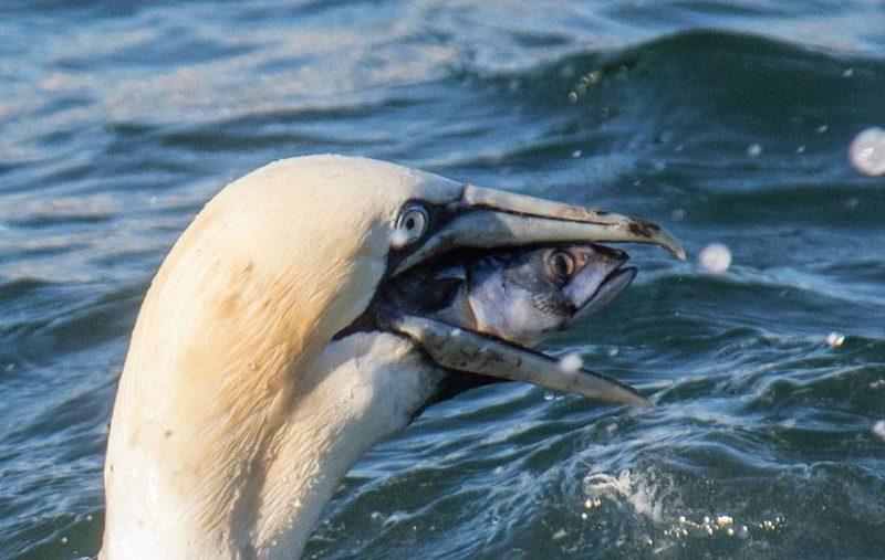 Ptak połyka rybę