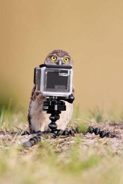 Sowa patrzy na aparat